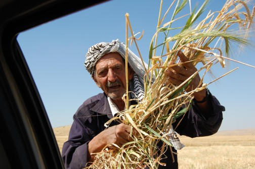 Ahmed Salim Bin Oudi in Mak Hul, holding prematurely harvested wheat [Photo: EAPPI/Stacke]