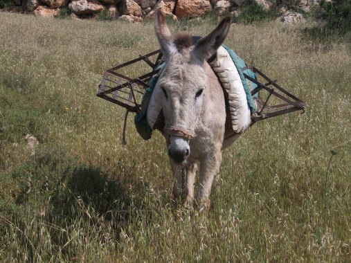 Nasser's donkey [Photo: EAPPI/E.Strachan]