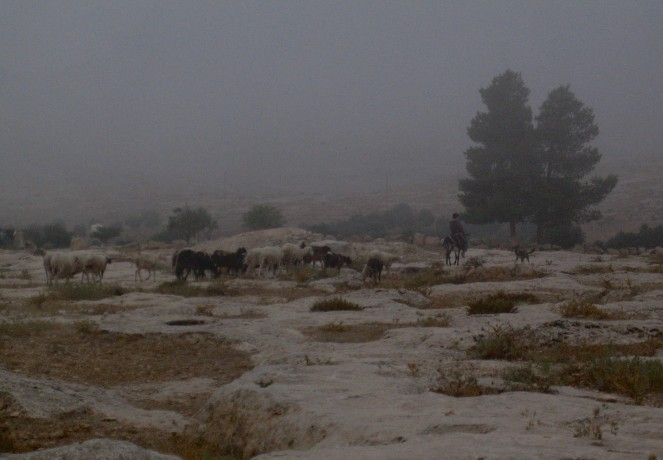 Pre-dawn Susiya – a shepherd takes out his flock Photograph EAPPI/E Brightwell