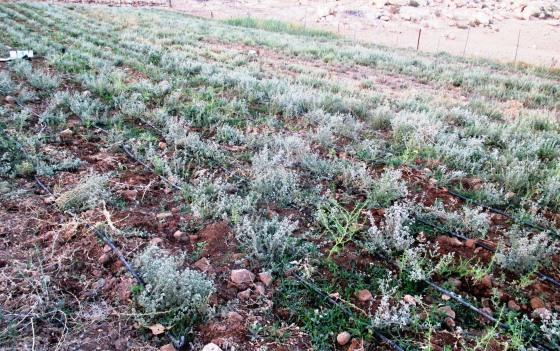 Thyme plants. EAPPI/A.Davison