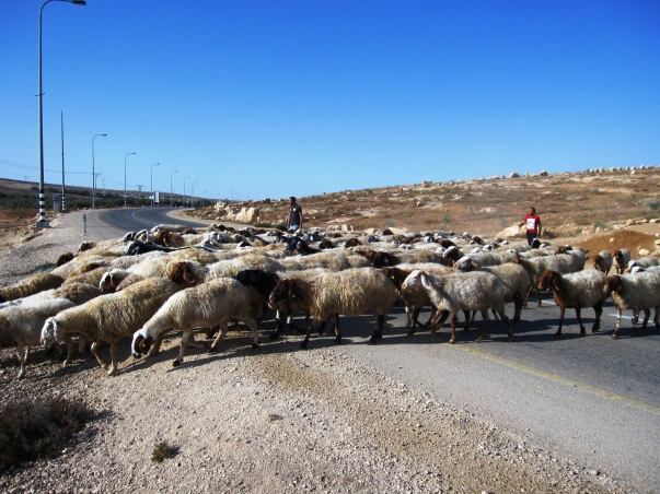 Flock of sheep crossing a main road. EAPPI/A.Davison