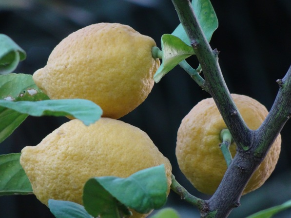 INSERT - PHOTO OF LEMONS 060116. Al Jifflik. North Jordan Valley, Occupied Palestinian Territory. Lemon tree, valuable crop in Palestine. Photo EAPPI (P Longden)