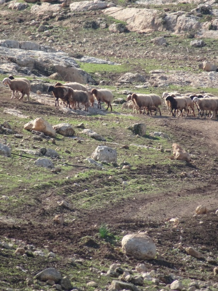 North Jordan Valley, Khirbet Yarza. Israeli military vehicle tracks and grazing Palestinian sheep .