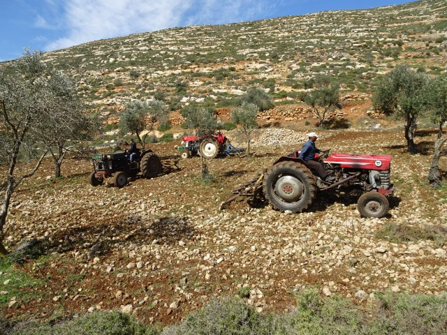 2 ploughing the olive trees, Old Nablus Road, Yanoun - Copy