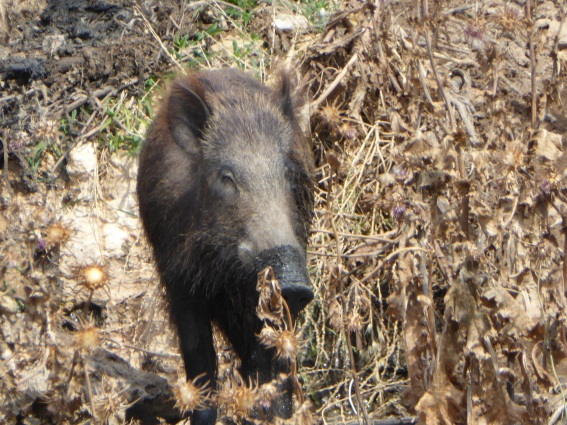23.05.2016 Yanoun Qaryut wild pig appeared near sewage outlet on protective presence for ploughing Photo EAPPI J Parkin