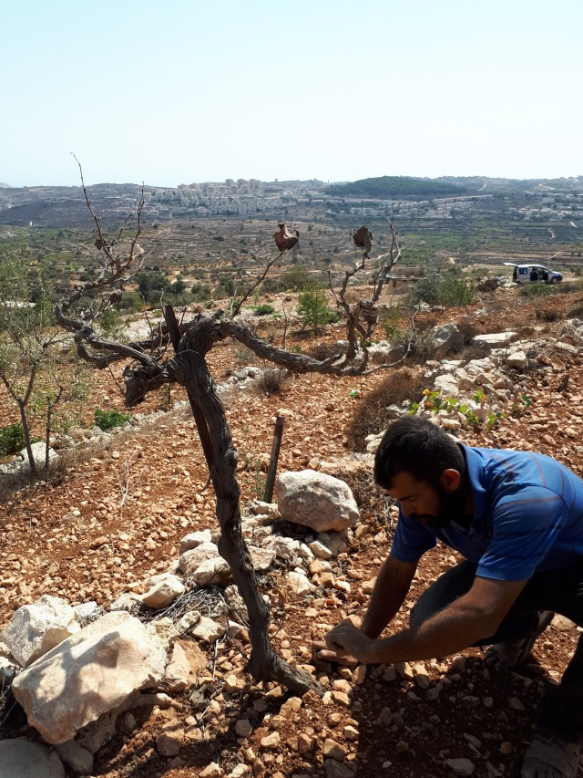 Saturday, September 23, 2017 Muhanned Salah trees killed by settlers