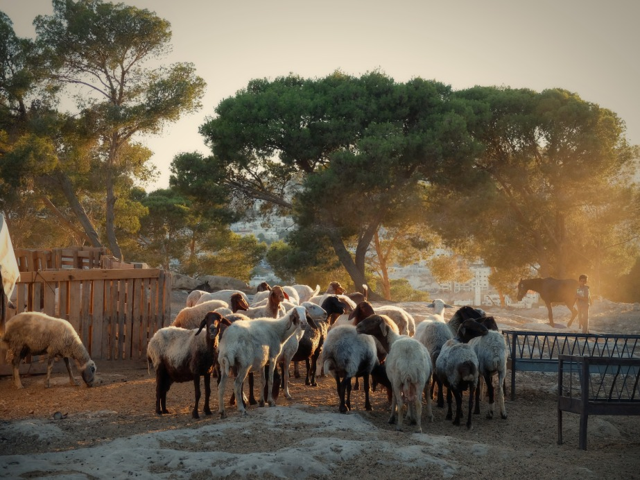 13-6-2016-jerusalem-district-bedouin-community-livestock-jabal-al-baba-photo-eappi2femily